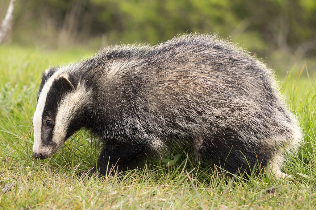 badger facts uk