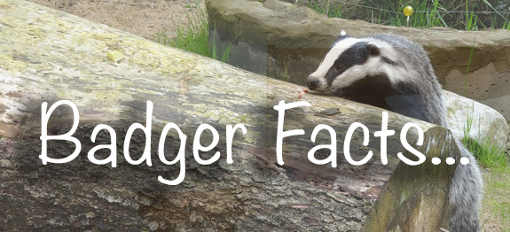 badger facts banner